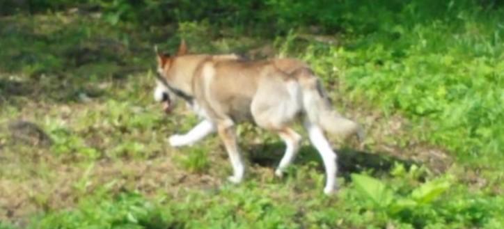 SANOK: Wilk czy duży, błąkający się pies? Przestraszone dzieci uciekały z podwórka (FILM, ZDJĘCIA)