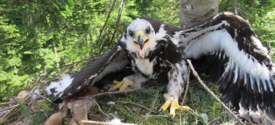 BIESZCZADY: Odbudowali orle gniazdo (ZDJĘCIA)