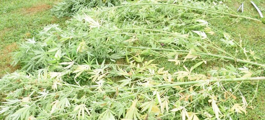 SANOK: Zabezpieczyli krzewy konopi oraz susz roślinny