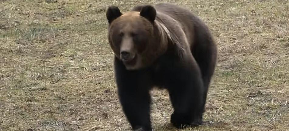 BIESZCZADY: Czekali na żubry. Zjawił się niedźwiedź! (VIDEO)