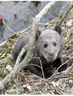Jej misiowatość Cisna. Mała niedźwiedzica uratowana przez leśników. Dzisiaj ma już 2,5 roku! (FOTO)
