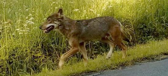 BIESZCZADY: Zdjęcia wilka tuż przed atakiem na dzieci. Czy to ten sam osobnik? (ZDJĘCIA)