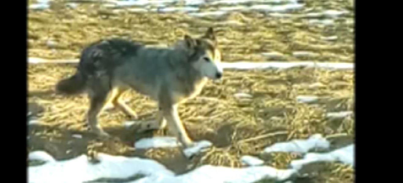 JĘDRUSZKOWCE: Wilki spacerują w najlepsze obok zabudowań (VIDEO)
