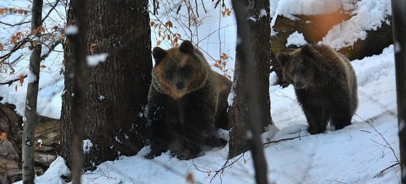 """Spotkanie oko w oko z niedźwiedzicą. """"Ten człowiek miał sporo szczęścia"""""""