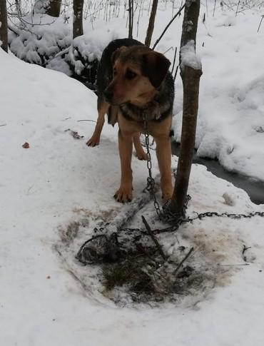 Wycieńczony pies przywiązany łańcuchem do drzewa (FOTO)