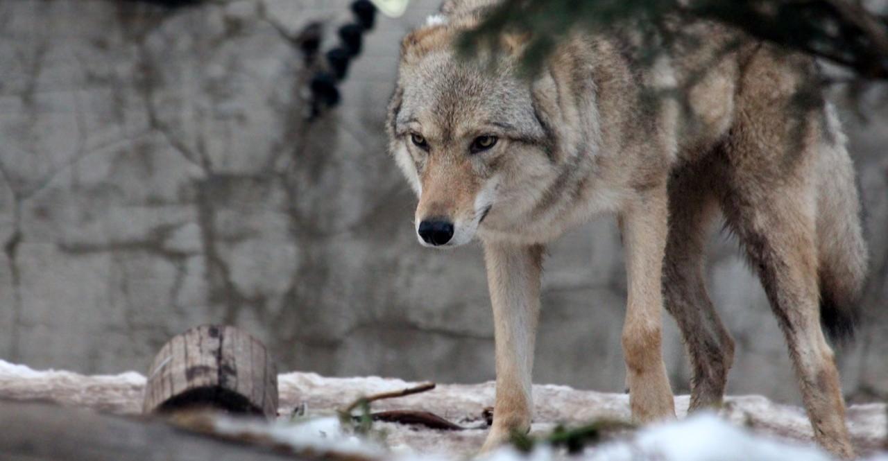 Przerażona wybiegła ze stodoły. Na sianie leżał… wilk!