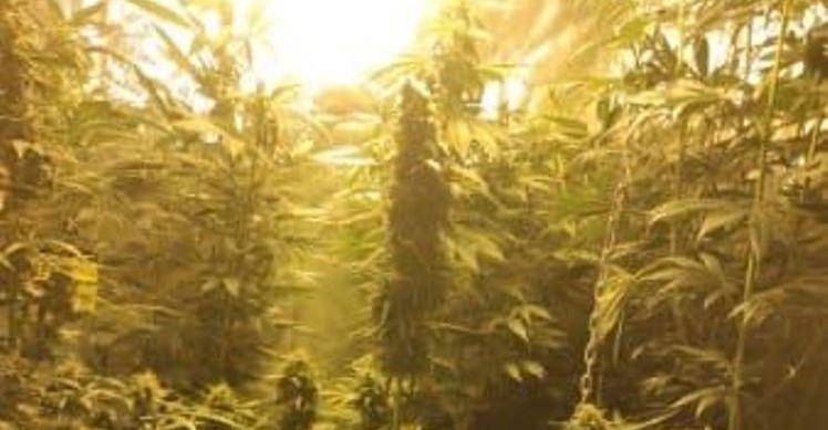 POWIAT RZESZOWSKI. Zlikwidowana uprawa marihuany. Zatrzymano 31-latka