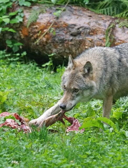 Wilk pożarł psa. Porwał zwierzę spod drzwi! (DRASTYCZNE ZDJĘCIA)
