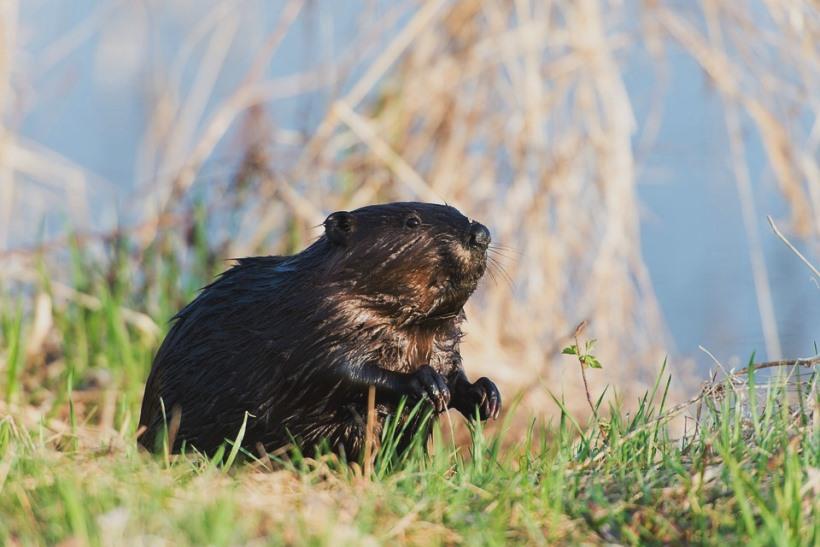 beaver-1997344_960_720