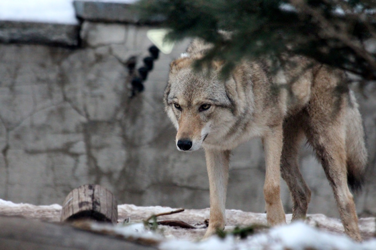 gray-wolf-2563165_1280