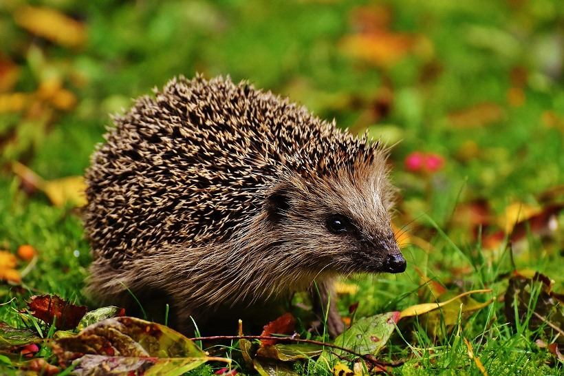 hedgehog-child-1759006_1280