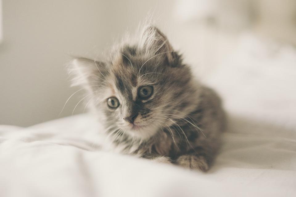 kitten-1031261_960_720