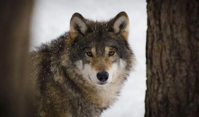wolf-2106894_960_720